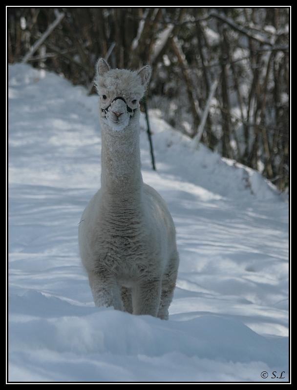 il a enfin neigé sur le hautacam ! Alpaga-fievel1G