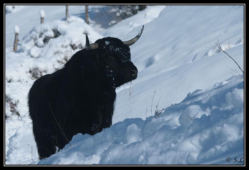 il a enfin neigé sur le hautacam ! Highland-angus5G