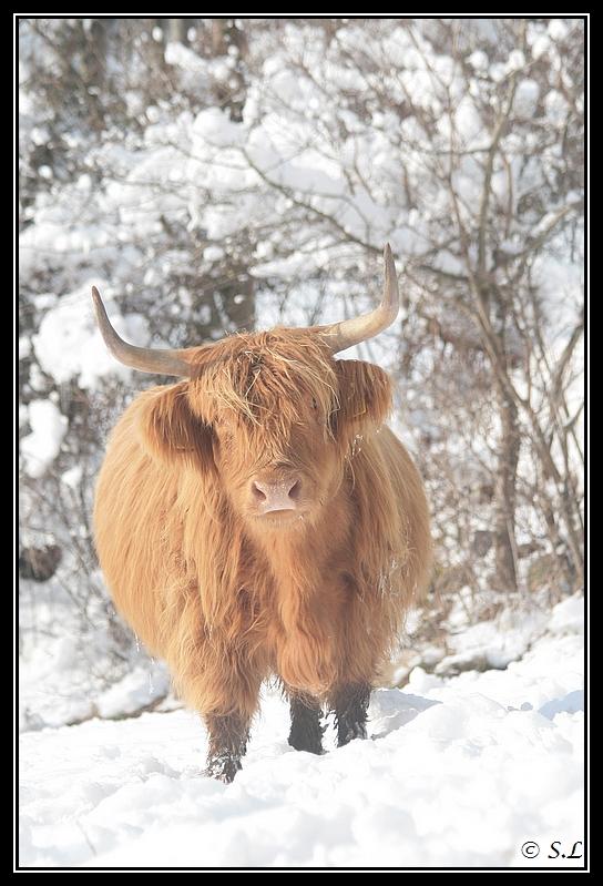 il a enfin neigé sur le hautacam ! Highland-brindille6G