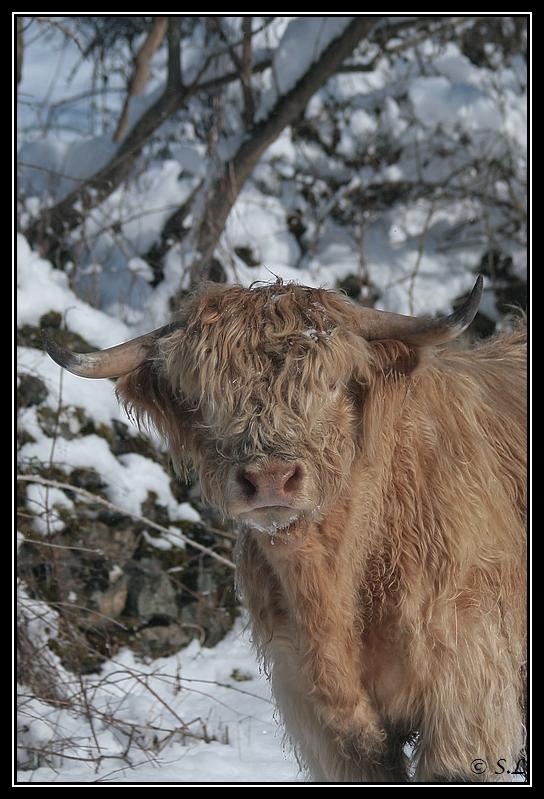 il a enfin neigé sur le hautacam ! Highland-capi8G