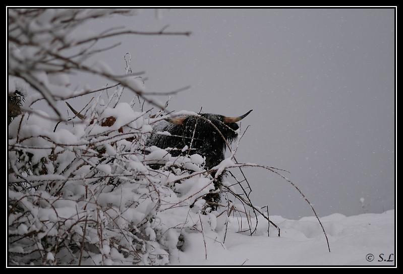 il a enfin neigé sur le hautacam ! Highland-feoragG21