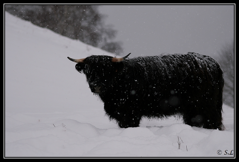 il a enfin neigé sur le hautacam ! Highland-feoragG22
