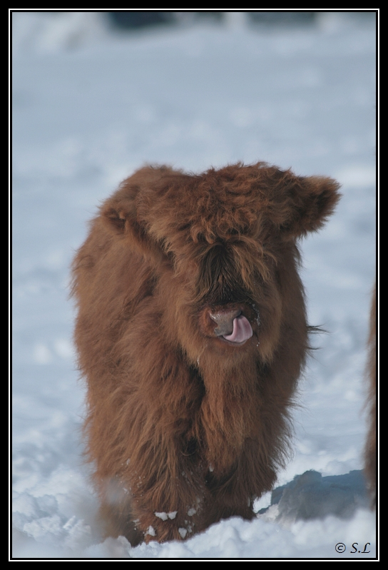 il a enfin neigé sur le hautacam ! Highland-glasgow11G