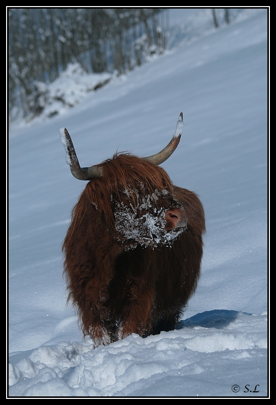 il a enfin neigé sur le hautacam ! Highland-griotte2G