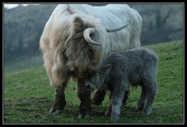 Highland 2012 sur la ferme du Hunt-Cam Highland-harn6G