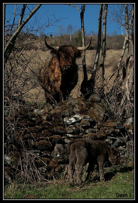 Highland 2012 sur la ferme du Hunt-Cam Highland-helora12G