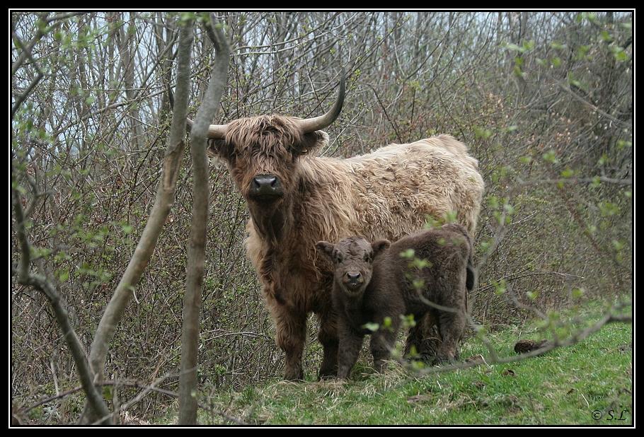 Highland 2012 sur la ferme du Hunt-Cam Highland-helora15G