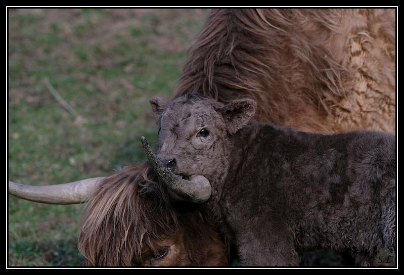 Highland 2012 sur la ferme du Hunt-Cam Highland-helora2G
