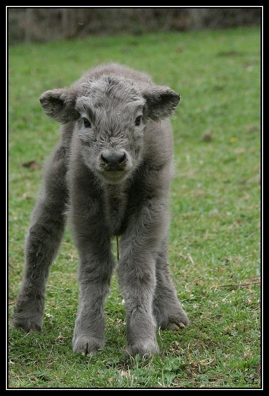 Highland 2012 sur la ferme du Hunt-Cam Highland-hoppy1G