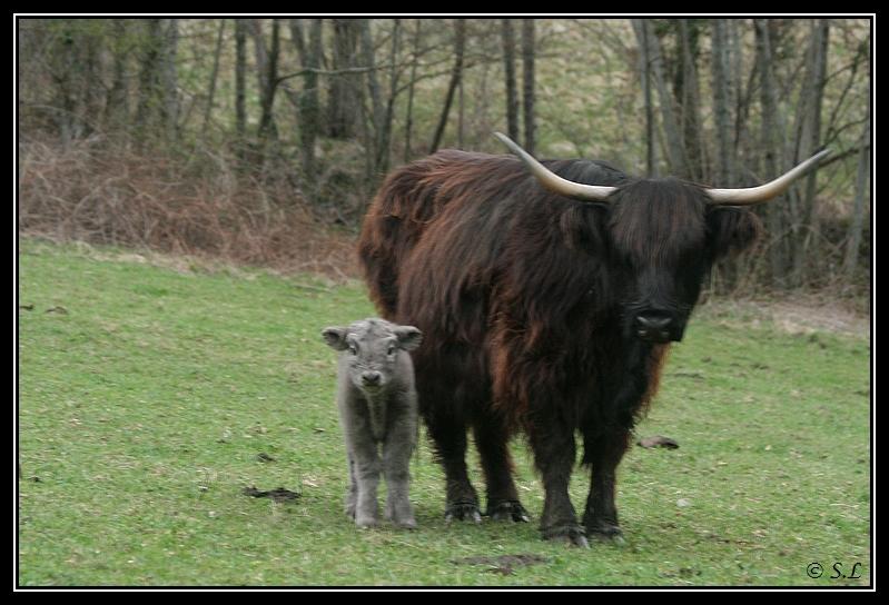 Highland 2012 sur la ferme du Hunt-Cam Highland-hoppy2G